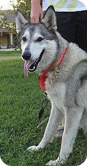Siberian Husky/German Shepherd Dog Mix Dog for adoption in Plano, Texas - Sasha