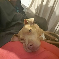 Labrador Retriever/American Staffordshire Terrier Mix Dog for adoption in Levitttown, New York - Kyro