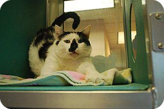 Domestic Shorthair Cat for adoption in Twin Falls, Idaho - Holstein