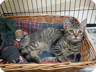 Domestic Shorthair Kitten for adoption in Mine Hill, New Jersey - Willow