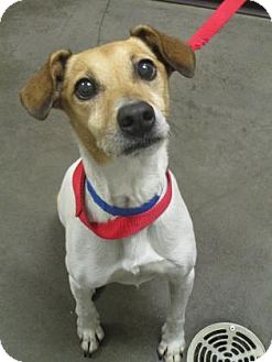 Jack Russell Terrier/Parson Russell Terrier Mix Dog for adoption in Union Grove, Wisconsin - Luke