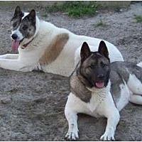 Akita Dog for adoption in Virginia Beach, Virginia - Belle