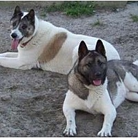 Adopt A Pet :: Belle - Virginia Beach, VA