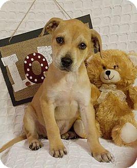 Labrador Retriever Mix Puppy for adoption in Elkton, Maryland - Ryder