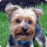 Adopt A Pet :: Cooper-ON HOLD - Bridgeton, MO
