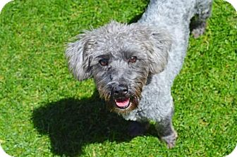 Poodle (Standard) Mix Dog for adoption in Pittsburgh, Pennsylvania - Hope