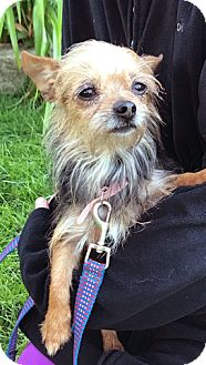 Yorkie, Yorkshire Terrier/Chihuahua Mix Dog for adoption in Mt. Prospect, Illinois - Peanut