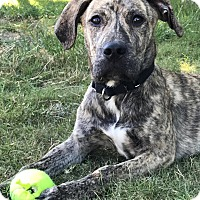 Hound (Unknown Type)/Mountain Cur Mix Puppy for adoption in Austin, Texas - Knox