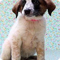 Adopt A Pet :: Nattie - Waldorf, MD