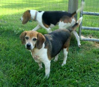 Beagle Mix Dog for adoption in Auburn, Alabama - Ridge