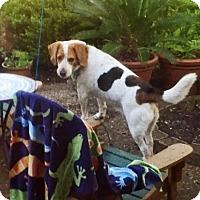 Adopt A Pet :: Duke- Courtesy Posting - Ventnor City, NJ