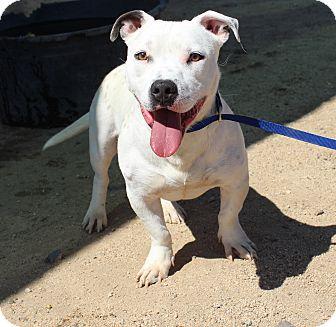 Pit Bull Terrier/Basset Hound Mix Dog for adoption in Yucca Valley, California - Napoleon Baskin Robbins