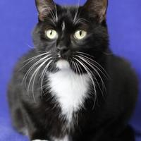 Domestic Shorthair/Domestic Shorthair Mix Cat for adoption in Blackwood, New Jersey - Kenny