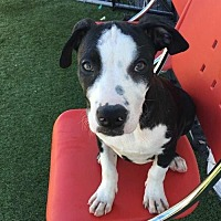 Adopt A Pet :: Roscoe - St. Charles, MO