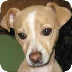 Chihuahua/Whippet Mix Dog for adoption in Berkeley, California - Charlie