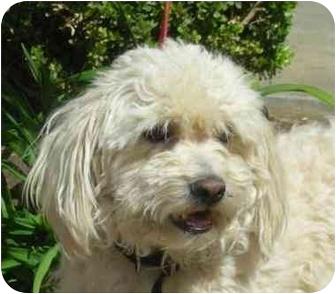Bichon Frise/Poodle (Miniature) Mix Dog for adoption in Palmdale, California - L.B.