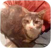 Calico Cat for adoption in Medford, Massachusetts - Missy