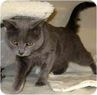 Russian Blue Cat for adoption in Troy, Michigan - Kaya & Cadence