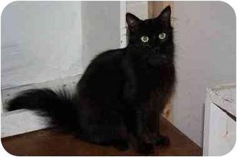 Oriental Cat for adoption in Owasso, Oklahoma - Ella Fitzgerald