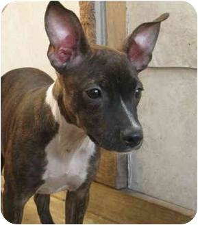 Rat Terrier/Italian Greyhound Mix Puppy for adoption in Chicago, Illinois - Brittany(ADOPTED!)