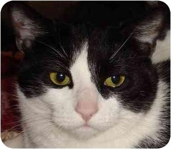 Domestic Shorthair Cat for adoption in Gaithersburg, Maryland - Nemo