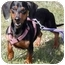 Photo 2 - Dachshund Dog for adoption in Grass Valley, California - Fritz