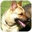 Photo 1 - German Shepherd Dog Dog for adoption in Houston, Texas - Thumper