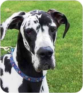 Great Dane Dog for adoption in Pearl River, New York - BULLWINKLE