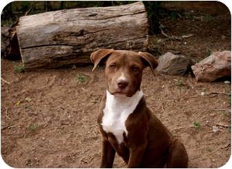 American Pit Bull Terrier/Labrador Retriever Mix Puppy for adoption in Santa Fe, New Mexico - Rocko