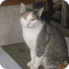 Domestic Shorthair Cat for adoption in Leamington, Ontario - Dreama
