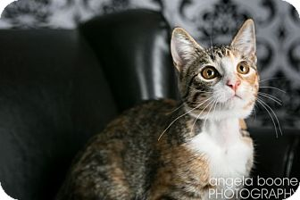 Domestic Shorthair Cat for adoption in Eagan, Minnesota - Violet