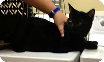 Domestic Shorthair Cat for adoption in Rosemount, Minnesota - Lucinda