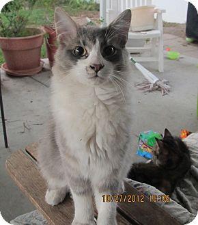 Domestic Mediumhair Cat for adoption in Laguna Woods, California - Adorable Fluffy