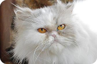 Persian Cat for adoption in Columbus, Ohio - Jazzi