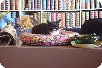 Domestic Shorthair Kitten for adoption in Brooklyn, New York - Noelle