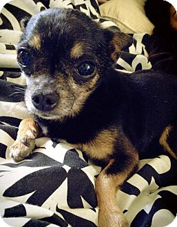 Chihuahua Mix Dog for adoption in Lake Elsinore, California - Enrique