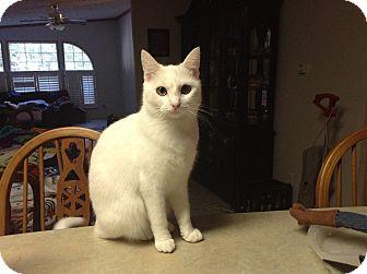 Domestic Shorthair Cat for adoption in Hazard, Kentucky - Scarlett