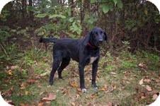 Labrador Retriever Mix Dog for adoption in Salem, Massachusetts - Bradley