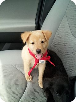 Australian Shepherd/Labrador Retriever Mix Puppy for adoption in Miami, Florida - Thyme