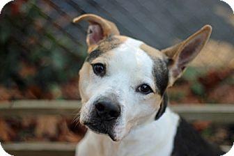 American Staffordshire Terrier/Redbone Coonhound Mix Dog for adoption in Port Washington, New York - Bandit