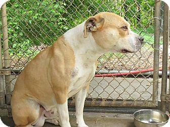 Pit Bull Terrier Mix Dog for adoption in Henderson, North Carolina - DENVER