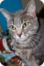 Domestic Shorthair Cat for adoption in West Des Moines, Iowa - Johnny