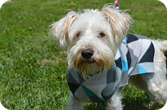 Schnauzer (Miniature)/Westie, West Highland White Terrier Mix Dog for adoption in Staunton, Virginia - Johann