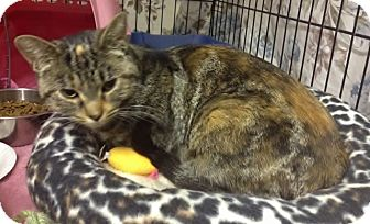 Domestic Shorthair Cat for adoption in Byron Center, Michigan - Kimmy