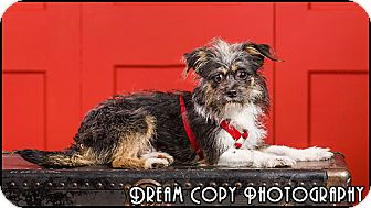 Terrier (Unknown Type, Small) Mix Dog for adoption in Owensboro, Kentucky - Spencer