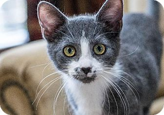 Domestic Shorthair Kitten for adoption in Napoleon, Ohio - Fendi