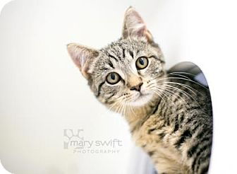 Domestic Shorthair Cat for adoption in Reisterstown, Maryland - Allentown