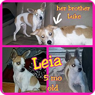 Terrier (Unknown Type, Small) Mix Puppy for adoption in Mesa, Arizona - Leia