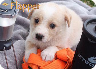 Border Collie Mix Puppy for adoption in Austin, Texas - Flapper