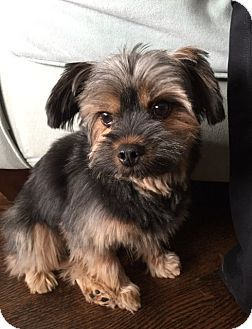 Yorkie, Yorkshire Terrier/Maltese Mix Dog for adoption in Mississauga, Ontario - Mazzy